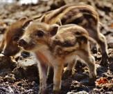 可爱的小野猪图片(14张)