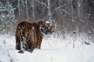 雪地里的老虎图片(6张)
