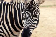 黑白相间的斑马图片(10张)