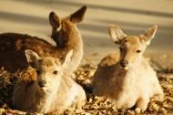 日本奈良的鹿图片(10张)