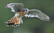 猎鹰图片(5张)