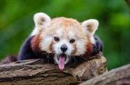 小熊猫图片(7张)