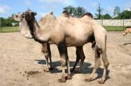 骆驼图片(21张)