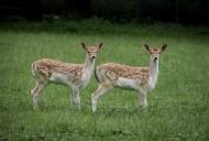 山坡上的鹿图片(13张)
