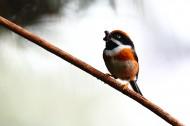 红头长尾山雀图片(10张)