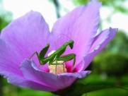 花上的螳螂图片(9张)