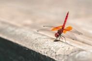 轻盈停落的蜻蜓图片(10张)
