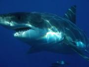 凶猛的鲨鱼图片(8张)