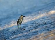 绿鹭图片(10张)
