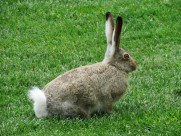 竖起耳朵的兔子图片(13张)