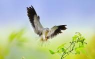 黑翅鸢鸟类图片(12张)