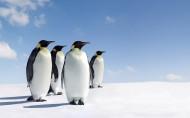 呆萌的企鹅图片(21张)