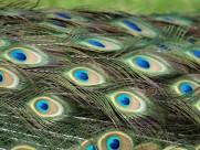 光鲜的孔雀羽毛图片(13张)