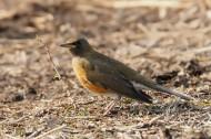 赤胸鸫鸟类图片(6张)