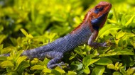 颜色鲜艳的蜥蜴图片(17张)