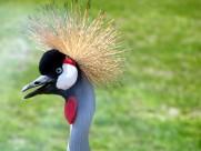 西非冠鹤鸟类图片(9张)