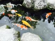 可爱五颜六色色锦鲤图片(10张)