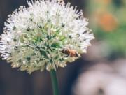 采蜜的小蜜蜂图片(13张)