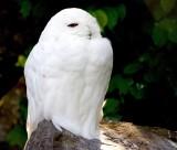 萌萌的雪鸮图片(10张)