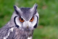 神秘的猫头鹰图片(13张)