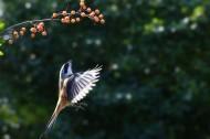 伯劳鸟图片(10张)