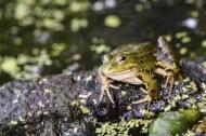 池塘里的青蛙图片(10张)