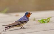 雨燕鸟类图片(7张)