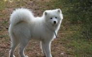 可爱的萨摩耶犬图片(11张)