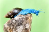 蓝蜗牛图片(6张)