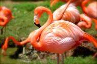 亮丽的火烈鸟图片(13张)