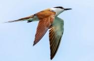 燕鸥图片(6张)