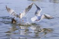 飞翔觅食的白色海鸥图片(12张)