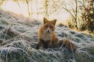 可爱的野生狐狸图片(6张)