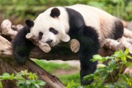 可爱国宝大熊猫图片(20张)