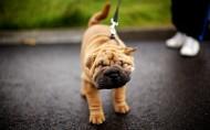 可爱的沙皮犬图片(19张)