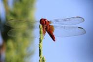 蜻蜓图片(9张)