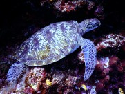 海洋里的海龟图片(10张)