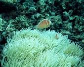 珊瑚海葵图片(20张)