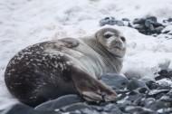 可爱的海豹图片(13张)