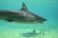 水中的鲨鱼图片(13张)