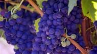 新鲜好吃的葡萄图片(17张)