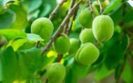 挂在枝头的酸涩青杏图片(10张)