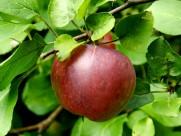 树上成熟的苹果图片(10张)