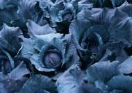 紫甘蓝菜地图片(6张)