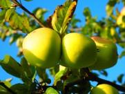 挂在枝头的青苹果图片(11张)