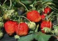 草莓果实图片(5张)