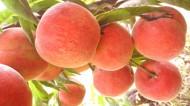 树上的桃子图片(7张)
