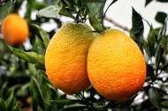 挂在枝头的赣南脐橙图片(12张)