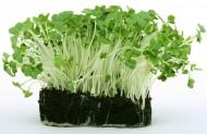 绿色豆苗图片(9张)
