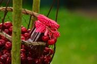 鲜艳的樱桃图片(11张)